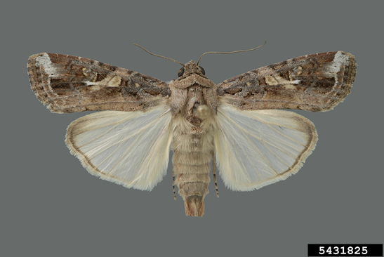 A male fall armyworm moth. The forewings of the moth have white markings near the tips, and the hindwings are almost fully cream-colored.