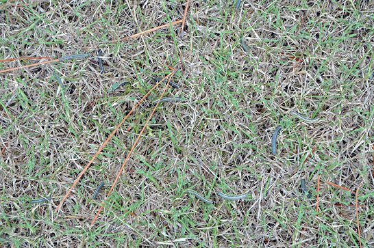 Many fall armyworms are present in this small section of grass. The armyworms appear dark green to black in contrast with the tan and green of the grass.