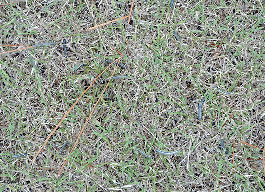 Fall armyworms can clearly be seen in this patch of grass.