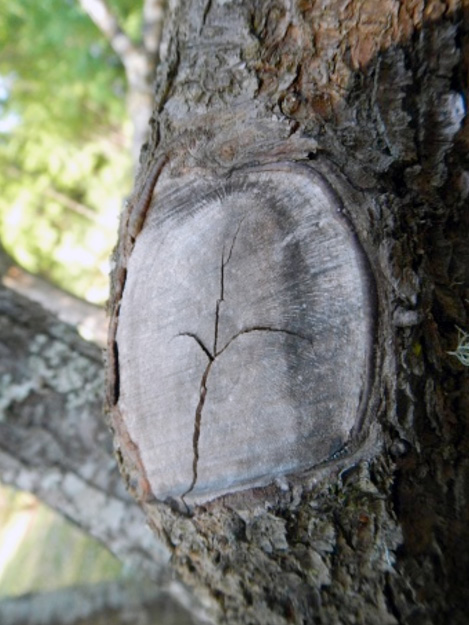 This pruning cut was done on an apple tree inside the branch collar. Although callus tissue formation can be seen, this wound may not properly close, leading to possible infection or infestation.