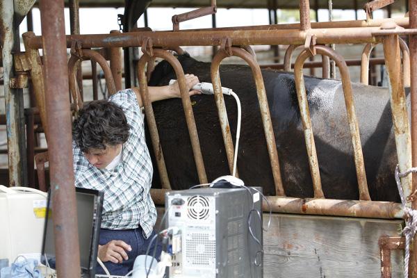 An ultrasound technician collects a rump fat ultrasound measurement.