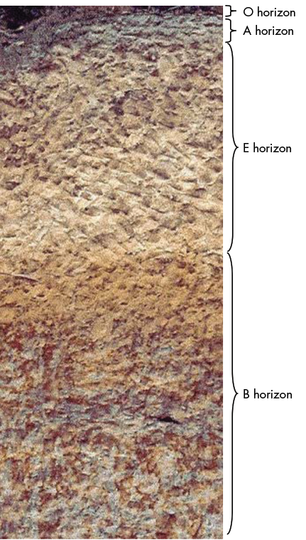 A cross-section view of soil horizons O, A, E, and B (described in text).