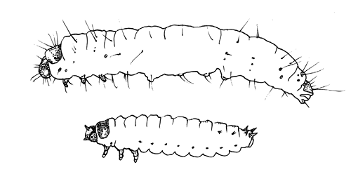 Drawing of size comparison of two types of larvae.
