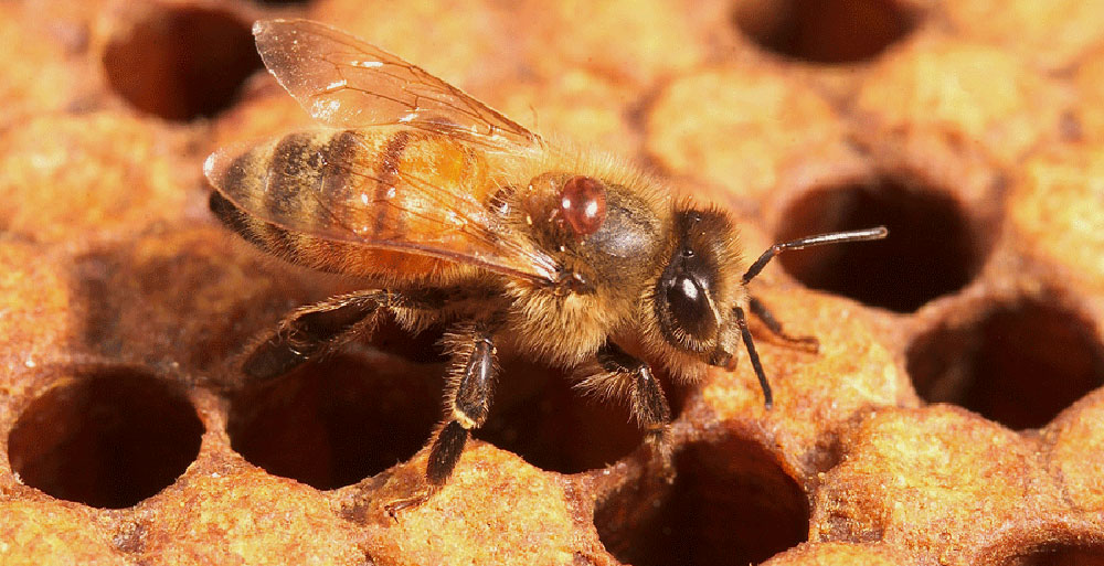 Managing Varroa Mites in Honey Bee Colonies | Mississippi State ...