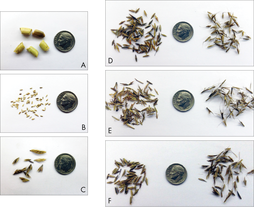 Six types of native warm-season grass seeds next to dimes to show their relative size.