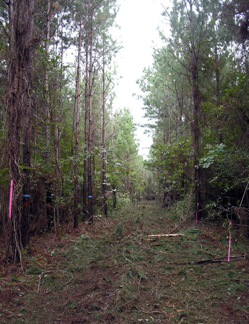 A cleared corridor between rows of pine trees. Some trees on either side of the corridor have bright pink ribbon or bright blue paint on them.