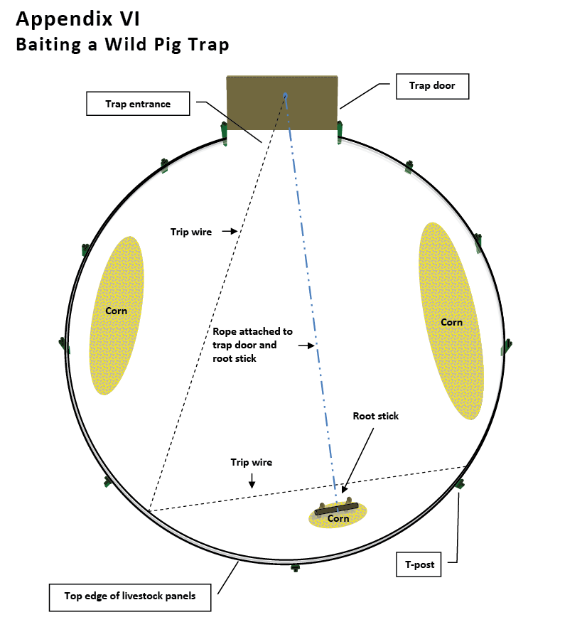 Appendix VI. Baiting a wild pig trap. Overhead view of a corral trap demonstrating bait placement for trapping wild pigs. Place only 1/2 to 1 gallon of corn around the root stick or behind the trip wire (a 5-gallon bucket of corn is sufficient for baiting a three- to five-panel trap). The rationale behind this strategy is that, upon entering the trap, pigs will begin feeding on the large bait piles. As more pigs enter the trap, juvenile and subordinate pigs will be pushed off the larger bait piles. These pigs then will migrate to the smaller bait pile at the back of the trap and eventually walk into the trip wire or dislodge the root stick and spring the trap. The same strategy applies whether using a root stick trigger or a trip wire.