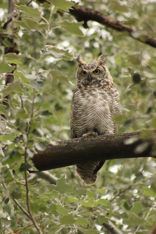 An owl perches on a tree limb.