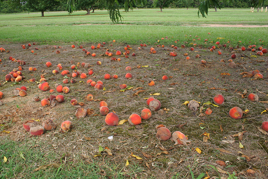 Partially rotted peaches lie on the ground underneath peach trees.