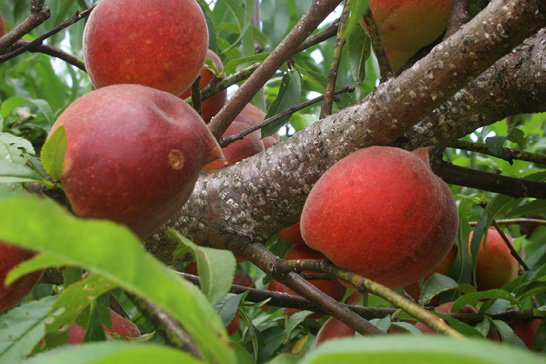 A peach tree limb with fruit around it is dotted with white patches of scale infection.