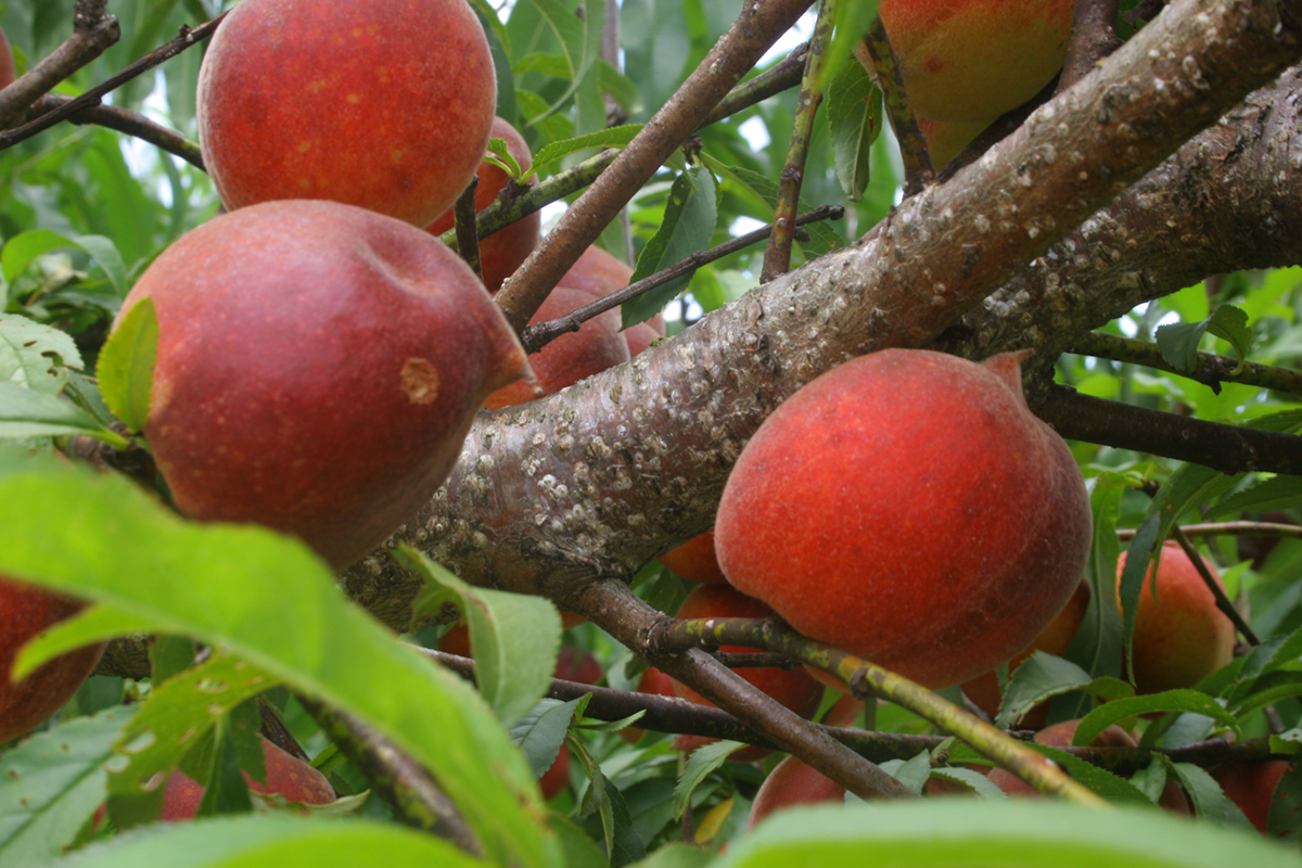 This is an image of a peach tree with white patches indicating scale infestation.