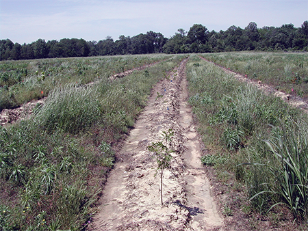 Rows of planted seedlings separated by rows of green vegetation.