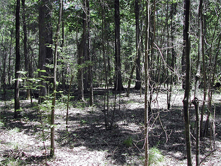 A forest area with small and large trees and a fairly vegetation-free floor.