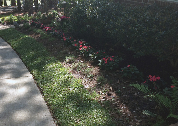 The border of a lawn along a sidewalk. Next to the sidewalk is St. Augustinegrass. Most of the grass is in heavy shade due to trees and shrubs, yet the grass is full and green.