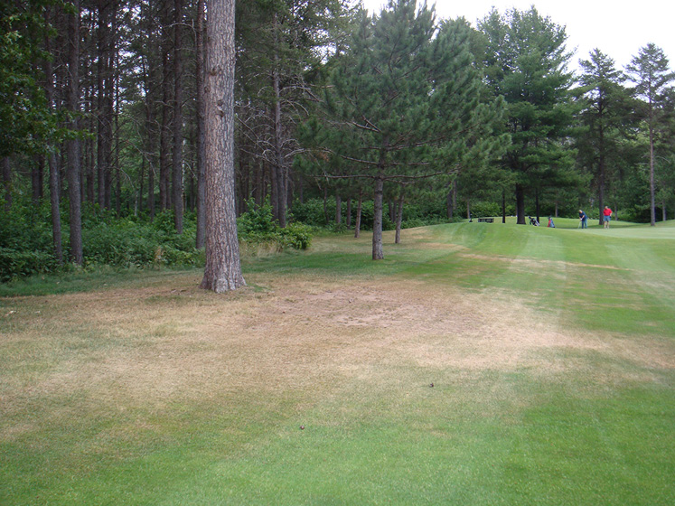 A stand of pines next to turfgrass. The grass around the base of the pinetrees is brown and appears dead.