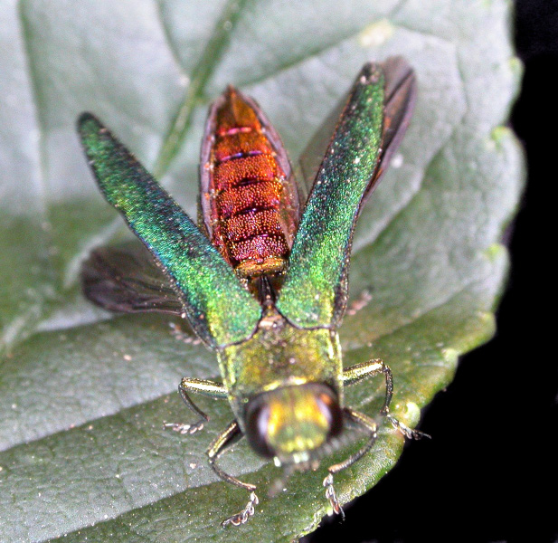 An adult EAB on a  leaf.