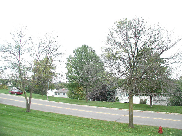 This is an image of trees with crown dieback, the most visible symptom of EAB infestation.