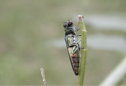 Photograph of an adult EAB. Photo is focused with the underside of the EAB, showing the rust color at the dull pointed rear end. The rest of the EAB has a light green tinge.