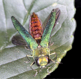 Photo of an adult EAB with the focus on the top part of the EAB. The wings of the EAB are an iridescent green and yellow color. Under the wings, part of the body, there is an iridescent red color. The head of the EAB is lighter than the wings in color, showing more yellow than green.