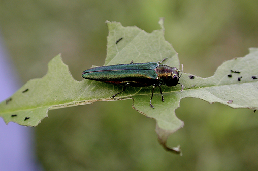 Photo of an EAB with its wings closed. The wings have an iridescent blue and green sheen.