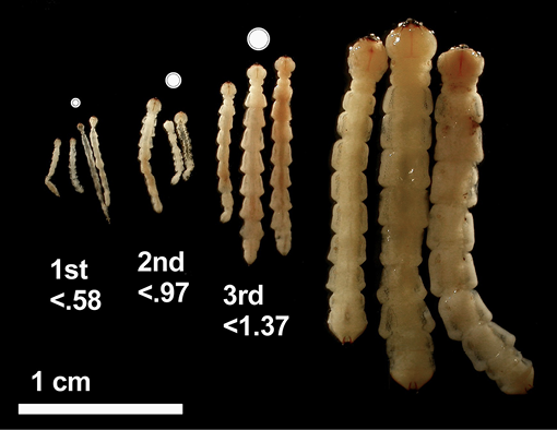 Photo of EAB larvae in different stages with size comparison. The larvae are enlongated, with distinguished segmenting.