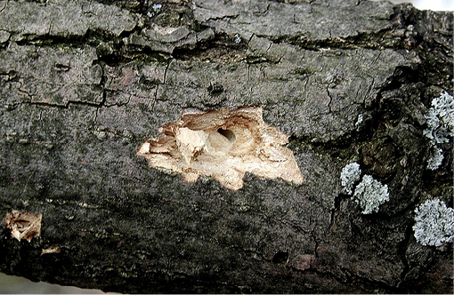Photo of a tree with woodpecker damage. There is a hole within the tree, and, around that hole, there is a lighter patch of wood.