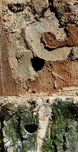 Close photo of exit holes. These holes are dark in color, but not completely round in shape. The top of the hole is flatter while the bottom part is rounded.