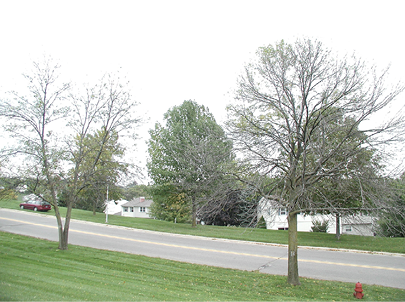 Photo of two trees with crown dieback. The trees are otherwise bare which is a stark contrast to the trees in the background.