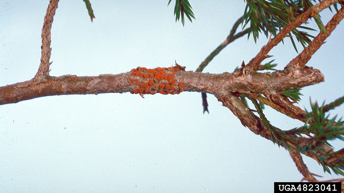 Figure 2. Quince rust on Eastern red cedar. Photo credit: Edward L. Barnard, Florida Depart