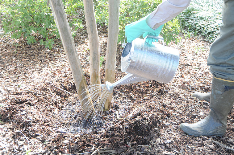 A person wearing rubber boots, long pants, a long-sleeved shirt, and rubber gloves uses a metal watering can to pour liquid around the base of a three-trunked tree. The mulch has been raked away from the base of the tree.
