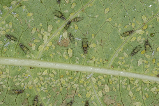 Magnified image of a crape myrtle leaf with numerous crape myrtle aphids.