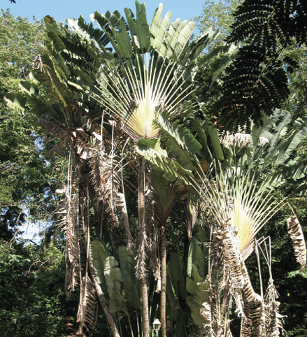 A group of tall, single-trunked trees with large, fan-shaped crowns.