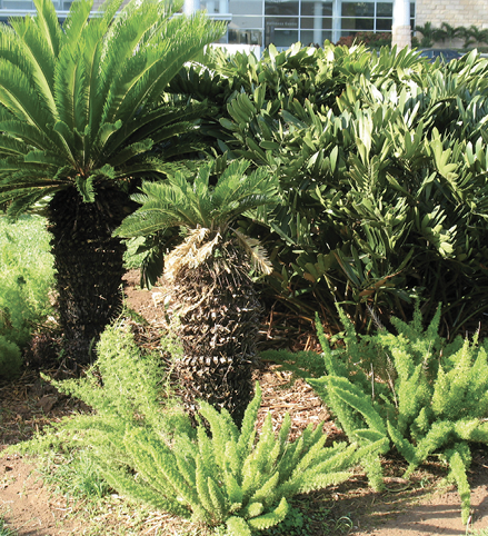 A grouping of various cycads, some with single, very large trunks topped with pinnate leaves, and some shrubby with palmate leaves.