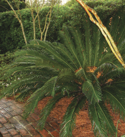 A shrubby, dark-green sago palm in a flower bed with crape myrtles.