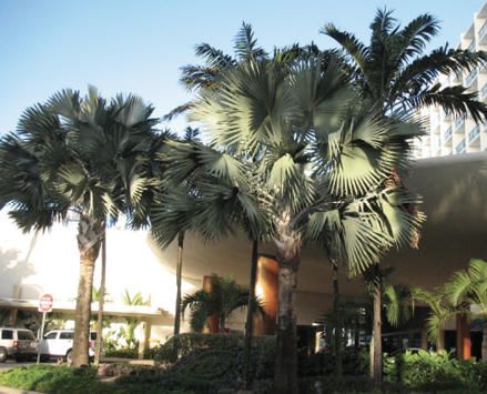Large bismark palms with tall trunks planted in front of a hotel.