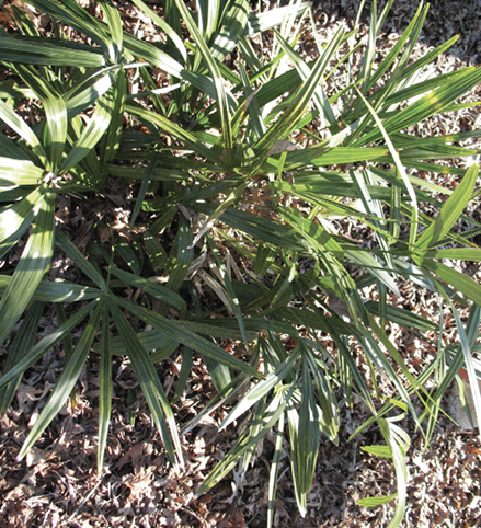 A shrubby, grass-like bunch of needle palm.