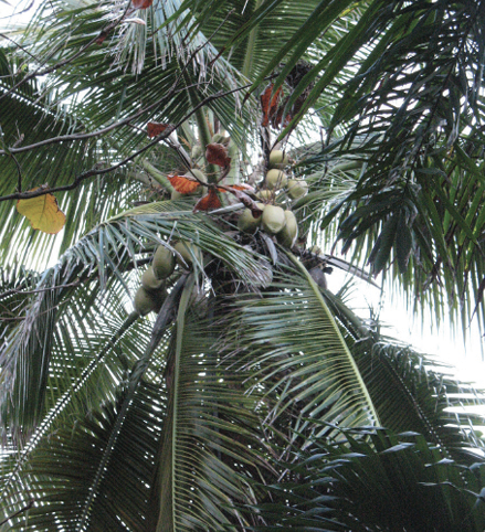 The crown of a palm tree with very large, pinnate leaves and bunches of coconuts.