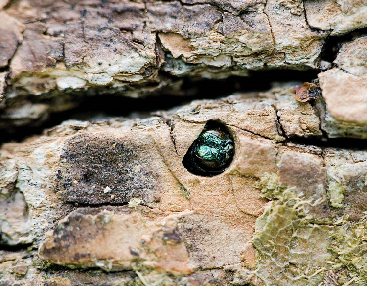 Figure 2. An adult emerald ash borer emerges from an infected ash tree.