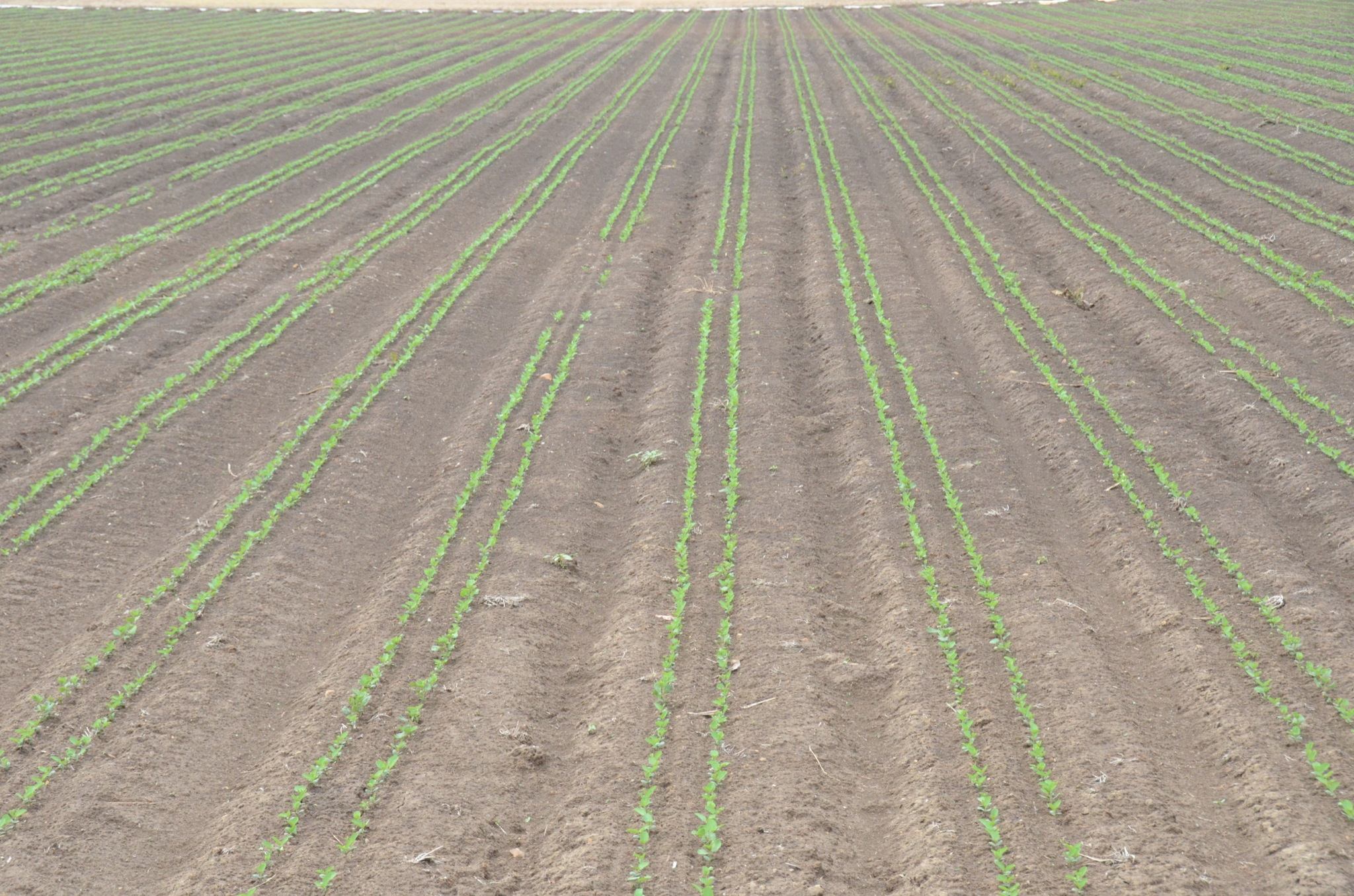 Twin-row soybean seedlings planted in the Mississippi Delta.