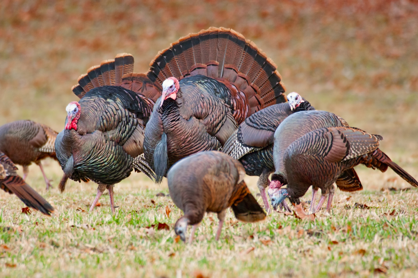 a flock of wild turkeys in a field.