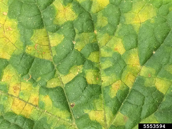 downy mildew on lesions.