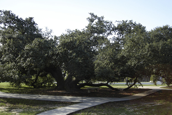 A very large, sprawling tree with bottom branches that touch the ground and dark green foliage.