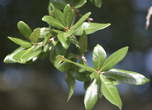 Close-up of several bunches of shiny, green leaves.