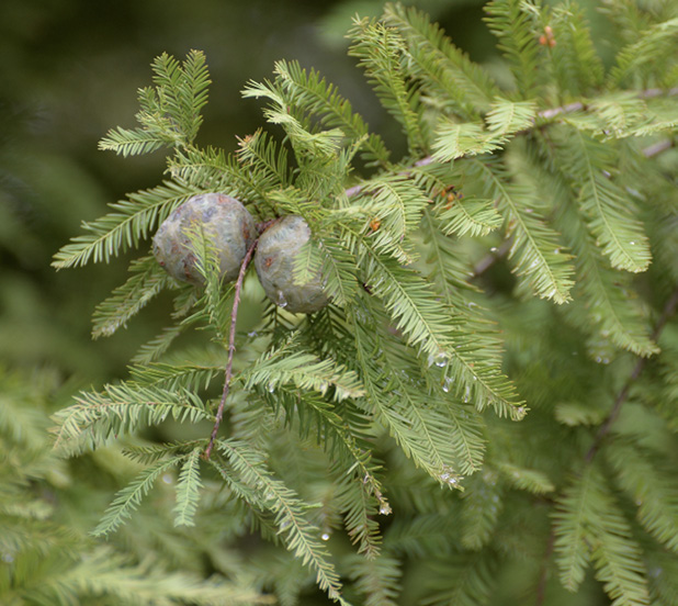 Close-up of needle-like leaves and two round, woody cones.