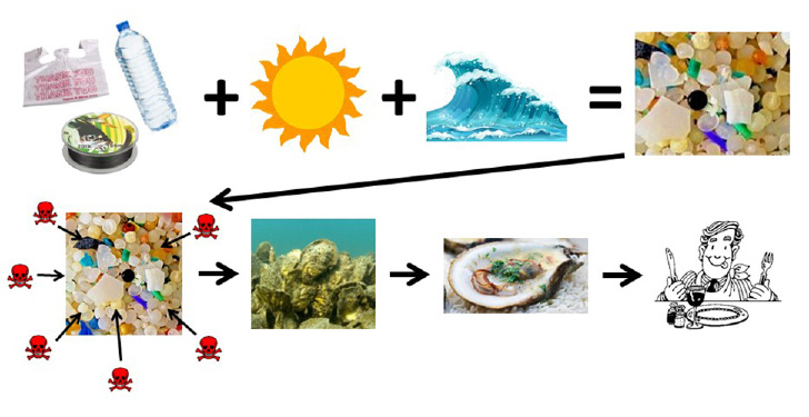 Figure 5. Conceptual flow diagram linking plastic pollution, microplastic creation, and bioaccumulation in oyster populations that may be consumed by humans. Top series: Plastics are introduced to the waterways and break down into microplastics via photo-oxidation and physical forcing. Bottom series: Microplastics absorb toxins from the water column via filter-feeders, such as oysters. Harvested oysters may expose humans to microplastics and their associated toxins.