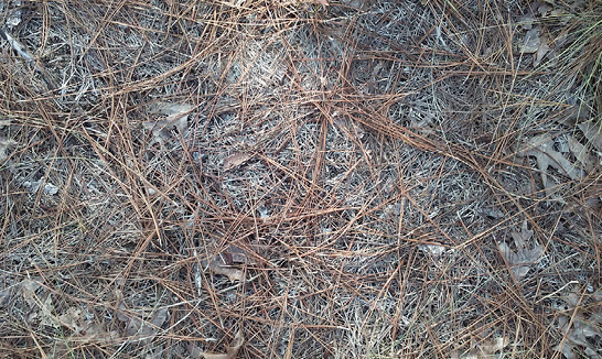 Brown pine straw spread on the ground. The ground shows under the straw.