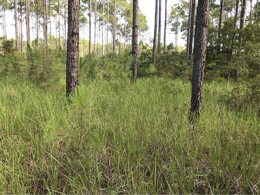 Tall, green grass covering the bottom part of the pine trees.
