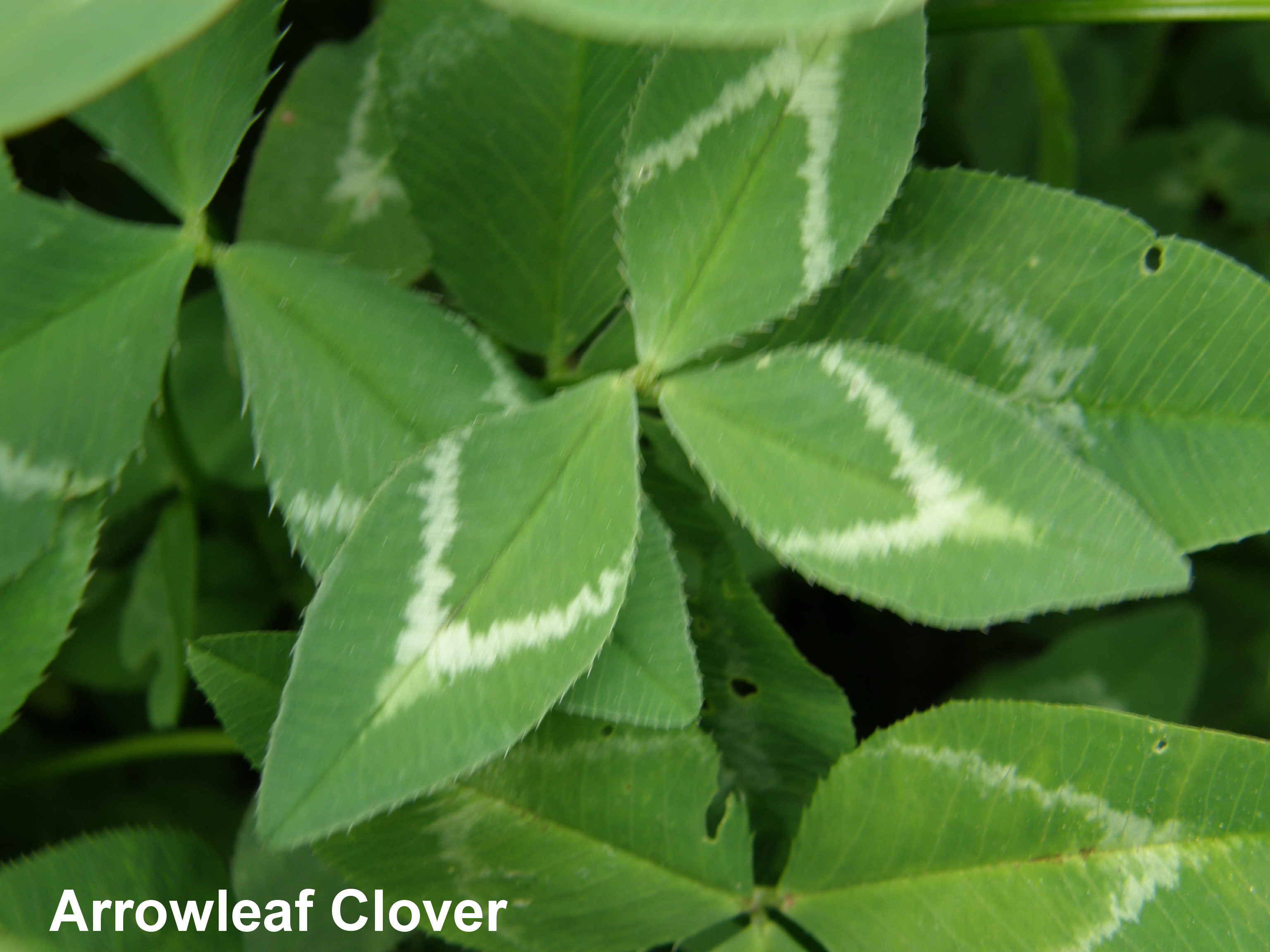 green clover with white markings in the shape of an arrow.