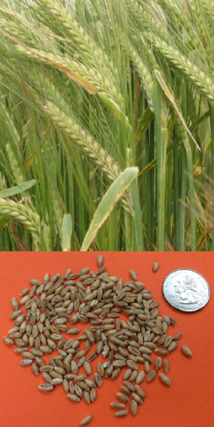 Barley seeds compared in size with a quarter underneath grown barley stalks.