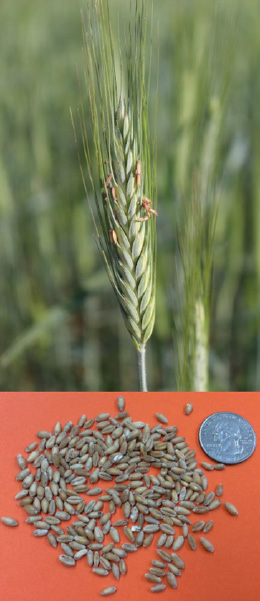 Wheat seeds compared in size with a quarter underneath a grown stalk of wheat.